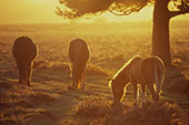 Ponies in Golden Sunshine 