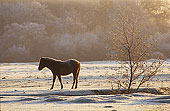New Forest Pony in the Frost 