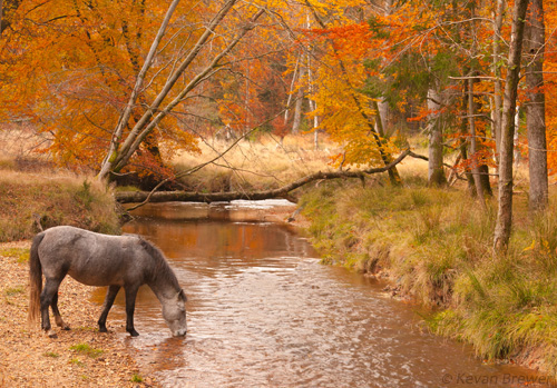 New Forest image: Pony Drinking from Blackwater