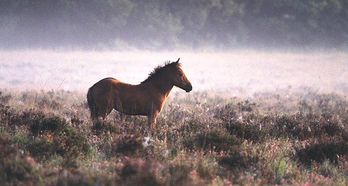 New Forest Ponies : New Forest pony foal on the heathland in Autumn