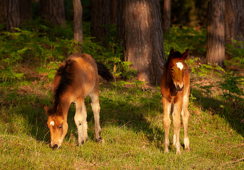New Forest Ponies : Young Foals near Row Hill
