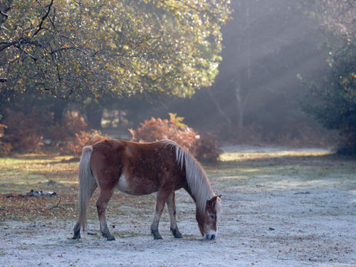 New Forest image: Pony Grazing in the Frost