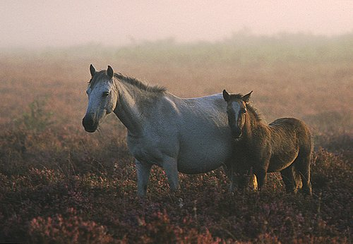 New Forest Ponies : New Forest pony and foal on heathland