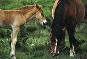 Grazing New Forest pony with foal 