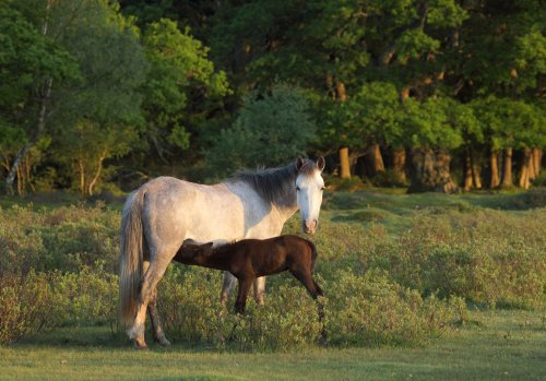 New Forest Ponies : Mare and Foal at Penny Moor