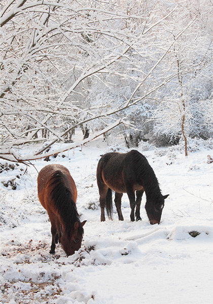 New Forest image: Ponies in the Snow near Bramshaw