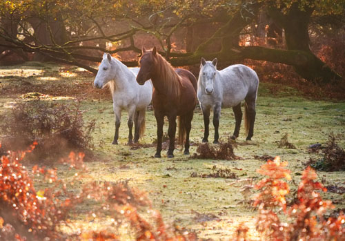 New Forest Ponies : Ponies in Bratley Wood
