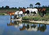 New Forest ponies standing by a pond 