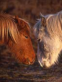 Ponies Nose-to-Nose 