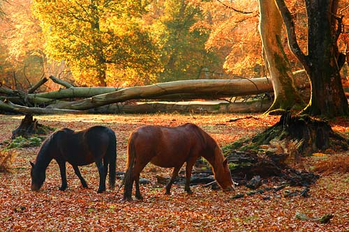 New Forest Ponies : New Forest Ponies in Mark Ash Wood in Autumn