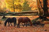 New Forest Ponies in Mark Ash Wood in Autumn 