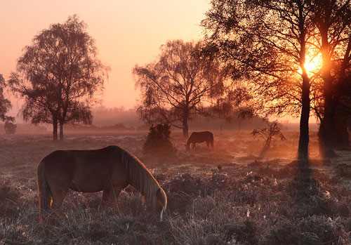 New Forest image: Grazing Ponies near Matley Wood