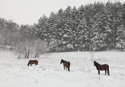 New Forest image: Ponies in the Snow at Vinney Ridge