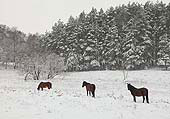 Ponies in the Snow at Vinney Ridge 