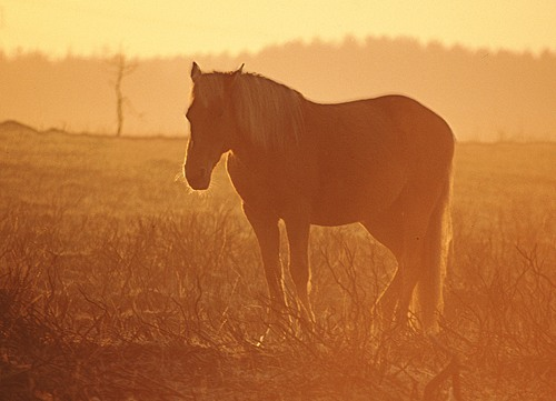 New Forest Ponies : New Forest pony warming itself at sunrise