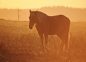 New Forest pony warming itself at sunrise 