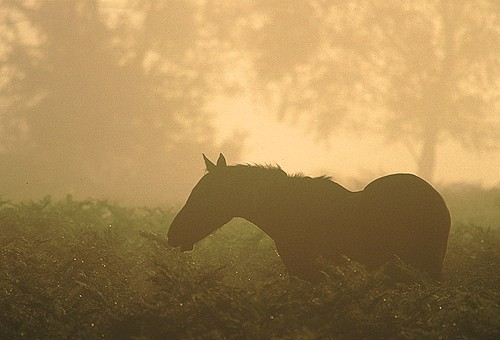 New Forest Ponies : New Forest Pony Browsing on Bracken