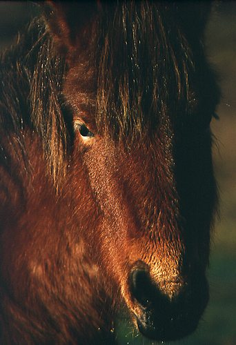 New Forest Ponies : Close up of New Forest pony
