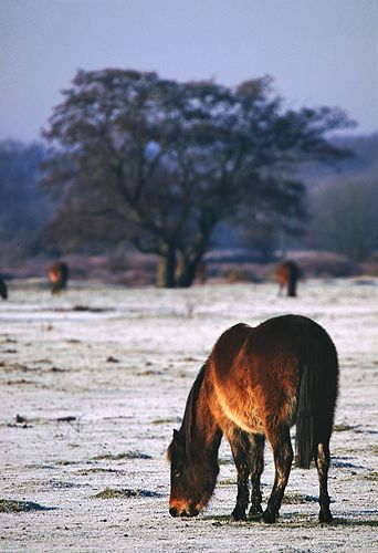 New Forest Ponies : New Forest pony grazing in the frost