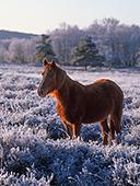 New Forest Pony at Dibden Bottom 