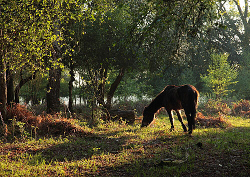 New Forest Ponies : Grazing Pony in Matley Wood