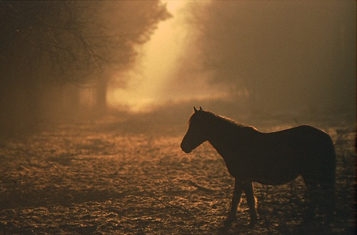 New Forest Ponies : Pony in the Mist