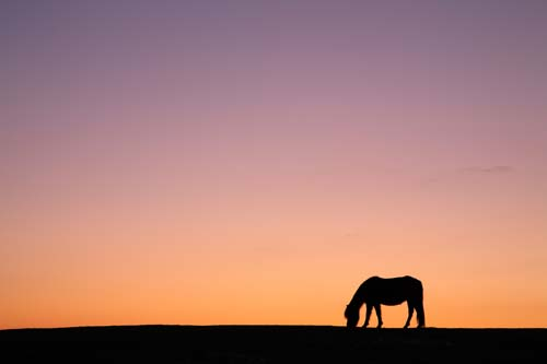 New Forest Ponies : Pony Silhouette