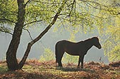 New Forest Pony under a Birch Tree in Spring 