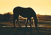 Silhouetted New Forest Pony 