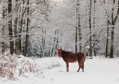 New Forest Landscapes : Pony in the Coppice of Linwood