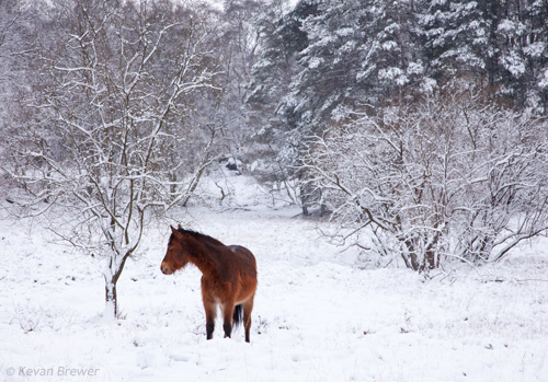 New Forest image: Pony in the Snow at Vinney Ridge