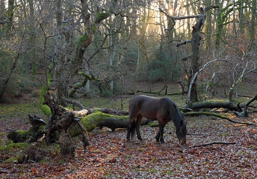 New Forest Ponies : Pony in Tantany Wood