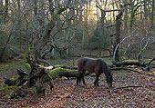 Pony in Tantany Wood 