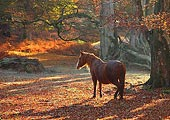 New Forest Pony in Mark Ash Wood in Autumn 