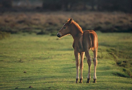 New Forest Ponies : New Forest Pony Foal in evening light