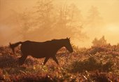 New Forest Pony walking across the heathland 